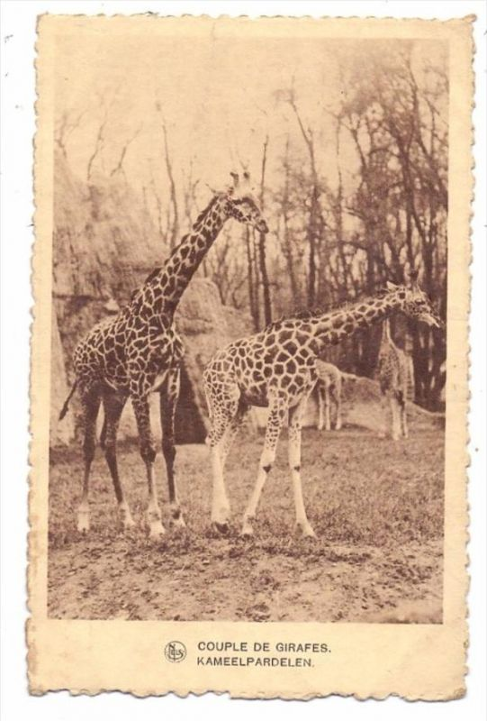 TIERE - GIRAFFEN / Giraffes / Girafes / Giraffe / Jirafas