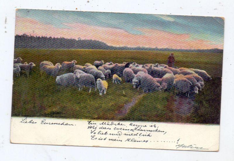 LANDWIRTSCHAFT - VIEHZUCHT - SCHAFE, Heide, 1903