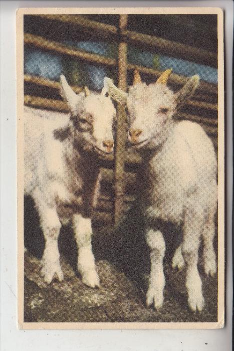 TIERE - ZIEGEN / Goats / Geiten / Chevre, 195.... Schweden