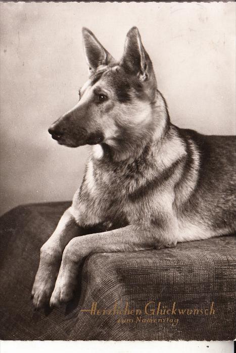 HUNDE - DEUTSCHER SCHÄFERHUND / german sheep dog / Chien de Berger / Herdershond, 1961