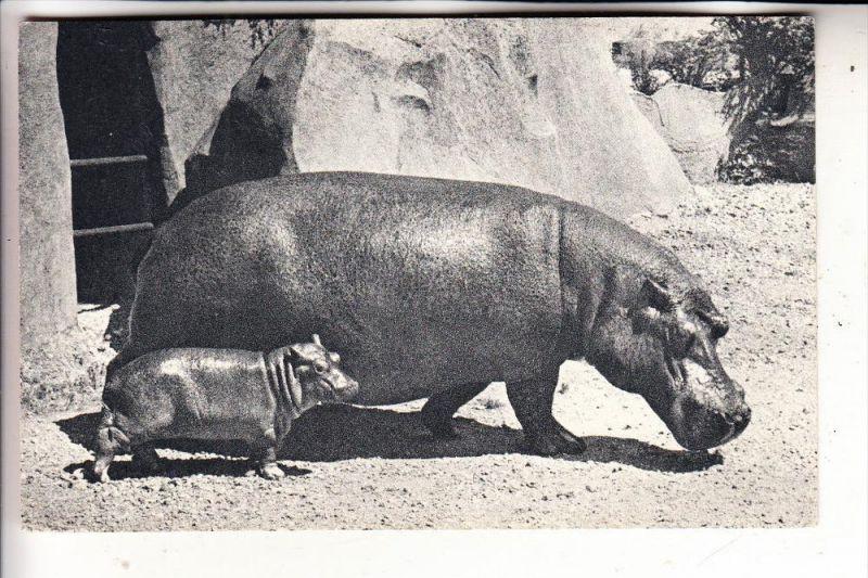 TIERE - FLUSSPFERD / Hippo - Zoo Paris, Bois de Vincennes