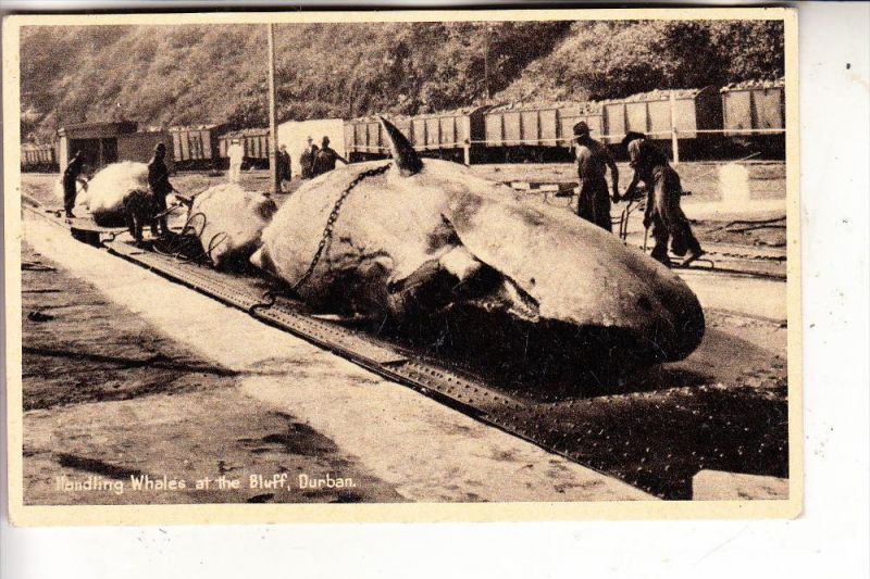 SOUTH AFRICA / SÜDAFRIKA - DURBAN, Whales at the Bluff, Whaling / Walfang / Hvalfangst