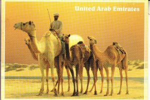 UNITED ARAB EMIRATES, Camels