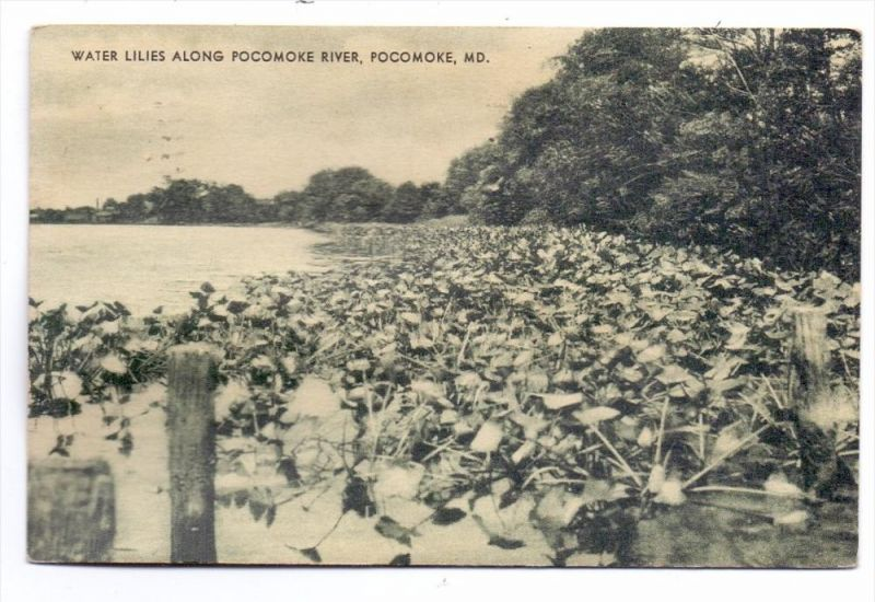 USA - MARYLAND - POCOMOKE, Water Lilies along Pocomoke River, 1934