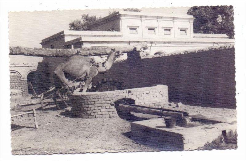 PAKISTAN - MULTAN / Punjab, Camel at Work, 50er Jahre