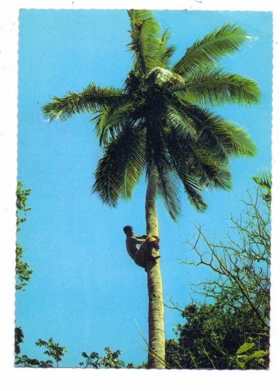 FIJI - Climbing Coconut Tree