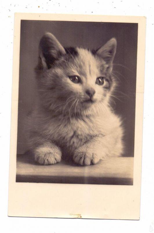 KATZEN / Cats / Chats / Katten / Gatti / Gatos - Junges Kätzchen