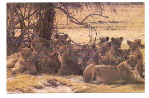 SAMBIA - Lions in Luangwa