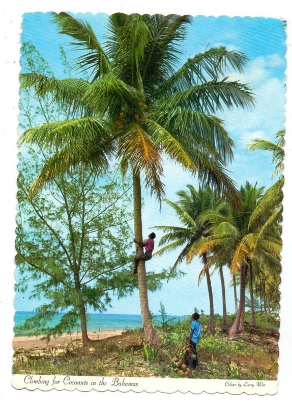 JAMAICA - Climbing for Coconuts