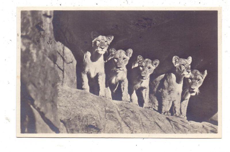 2000 HAMBURG - STELLINGEN Hagenbeck, Zoo, Löwinnen in der Löwenschlucht, 1931, rücks. kl. Klebereste 0
