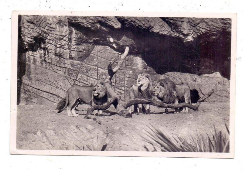 2000 HAMBURG - STELLINGEN Hagenbeck, Zoo, Löwenschlucht, 1935