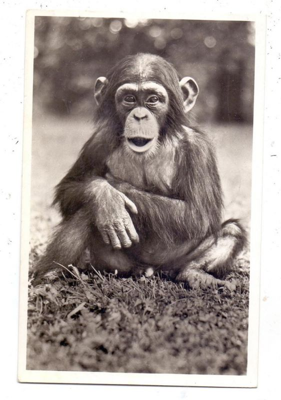 2000 HAMBURG - STELLINGEN Hagenbeck, Zoo, Schimpanse, 1956 0