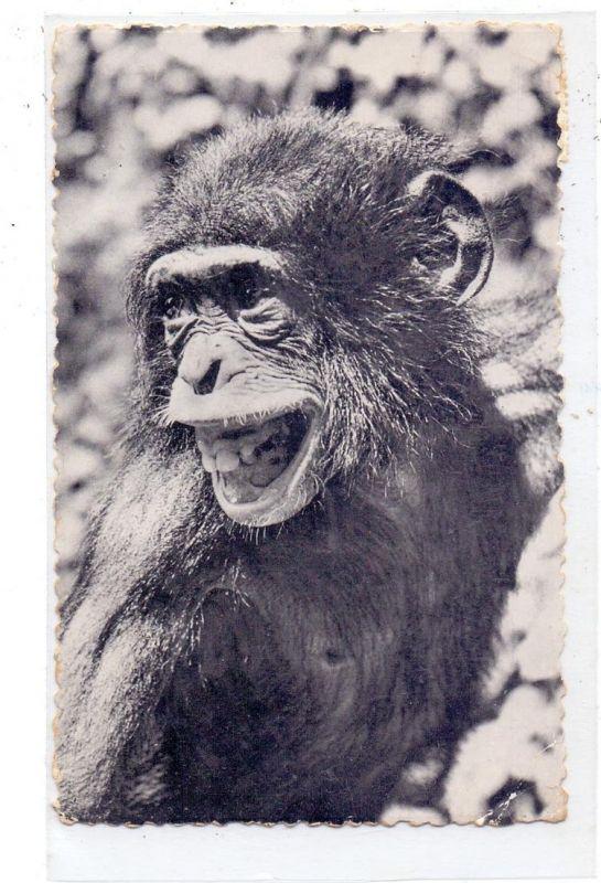 TIERE - ZOO - Antwerpen, Schimpanse, 1952