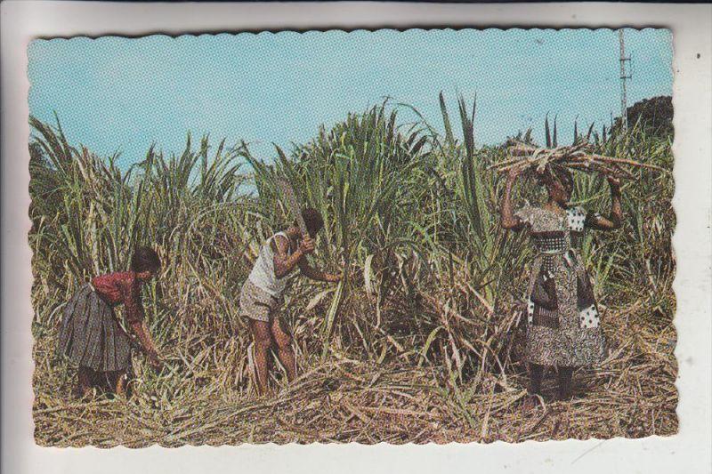 LANDWIRTSCHAFT - Zuckerrohrernte - Karibik