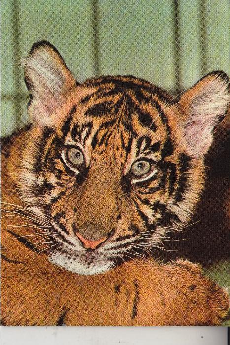 ZOO - FRANKFURT, Tiger