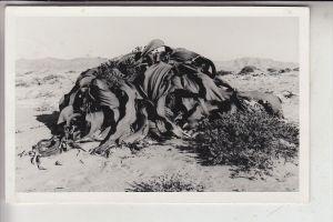 NAMIBIA, Pflanzen in der Wüste, Verlag: Schirmer-Swakopmund