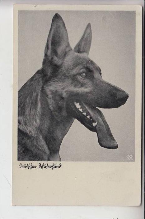 TIERE - HUNDE -Schäferhund - Chien de berge - sheperd dog - herdershond, Deutscher Schäferhunf 0