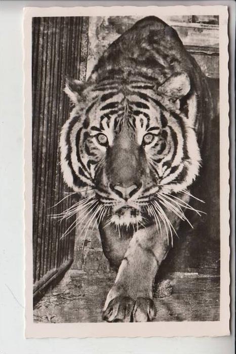5000 KÖLN, ZOO - Tiger 0