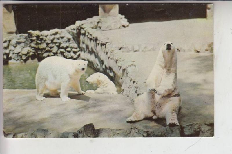 TIERE - BÄR - Eisbären - Polar Bear - Ours Polaire - Orso Polare - Ijsbeer - Oso Polar / San Diego Zoo 0