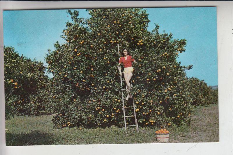LANDWIRTSCHAFT - Orangenernte / Picking oranges / FLORIDA