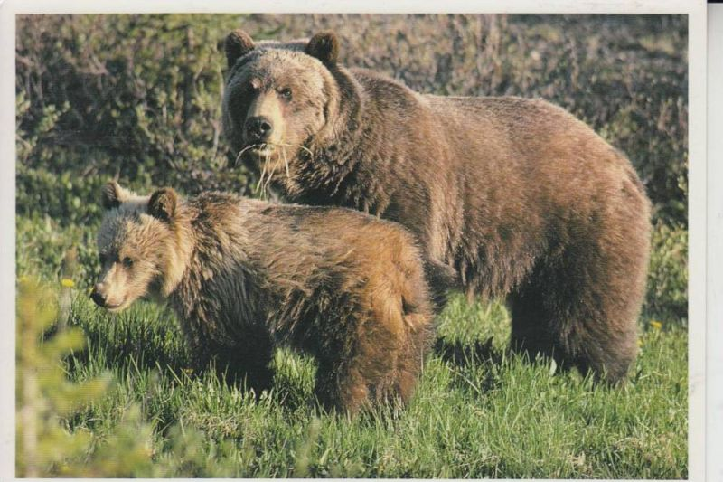 TIERE - BÄR - Grizzly Bear & Cubs