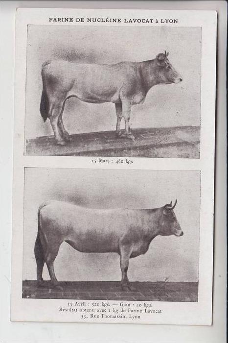 LANDWIRTSCHAFT - Veterinärmedizin - Kühe / Cows, Farine Lavocat Lyon