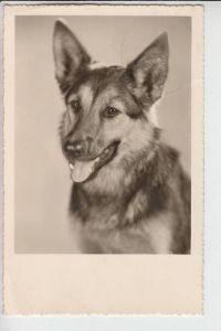 TIERE - HUNDE -Schäferhund - Chien de berge - sheperd dog - herdershond, 1952