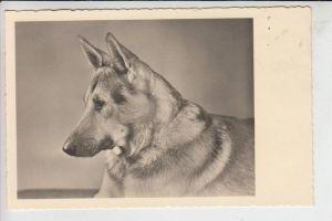 TIERE - HUNDE -Schäferhund - Chien de berge - sheperd dog - herdershond,