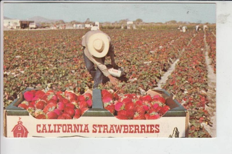 LANDWIRTSCHAFT - Strawberries California - Erdbeeren - Fresas - Fragole - Fraises - Aardbeien