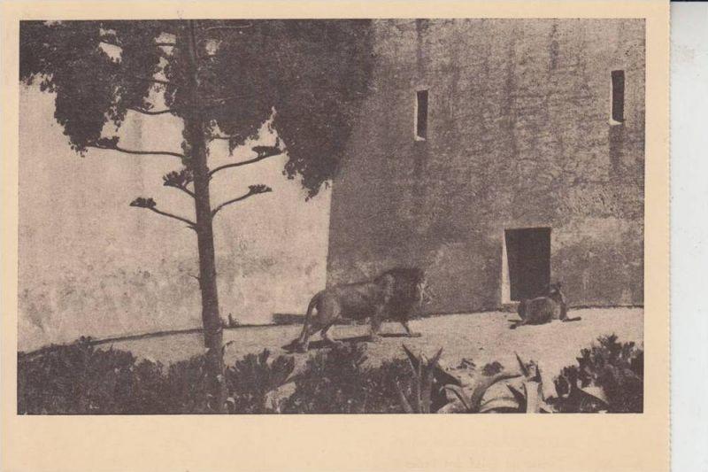 P 1000- LISBOA - LISSABON, Jardim Zoologico, Trecho do Solar dos Leoes, Zoo Löwen lions