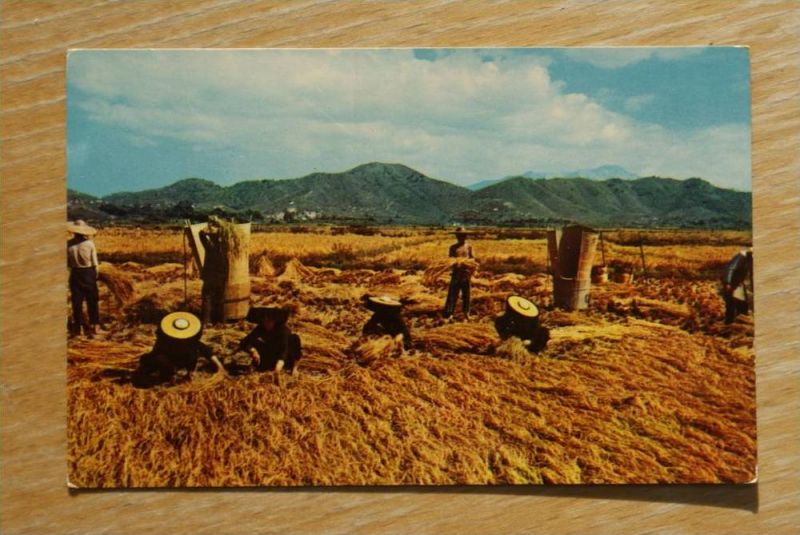 CHINA - HONGKONG, Harvest Season in the Feddy Fields, New Territories, Hong Kong