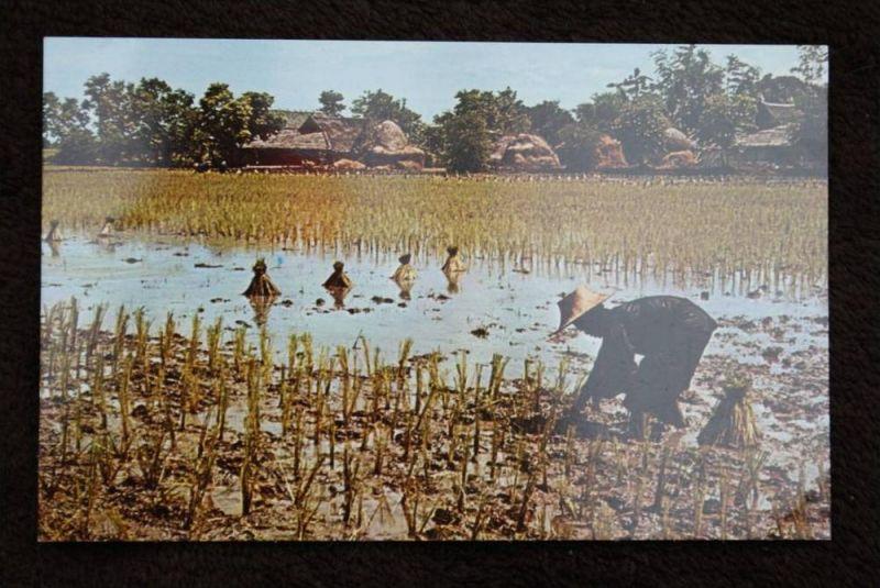 THAILAND - SIAM, Bangkok, Transplanting Rice - Reis - Landwirtschaft