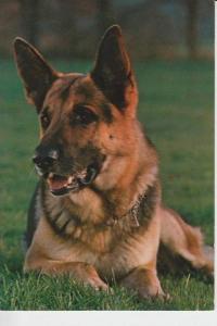 TIERE - Hunde -Schäferhund - Chien de berge - sheperd dog - herdershond