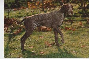 TIERE - Hunde - Jagdhund - jachthond - chienne de chasse - hunting dog