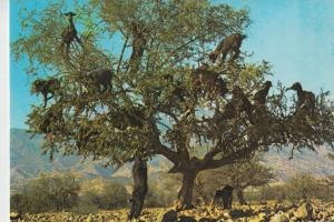 TIERE - ZIEGEN-Geiten-Goats-Chevres - Marokko