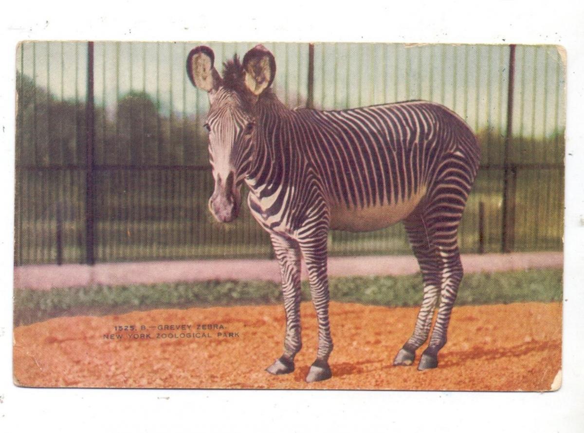 ZOO - ZEBRA, New York Zoo 0