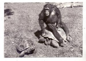 CH 8000 ZÜRICH ZH, Zoologischer Garten, Schimpanse mit Schildkröten