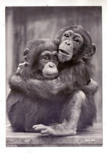 CH 8000 ZÜRICH ZH, Zoologischer Garten, 2 junge Schimpansen