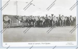 SUDAN - PORT SUDAN, Herd of Camels / Kamele