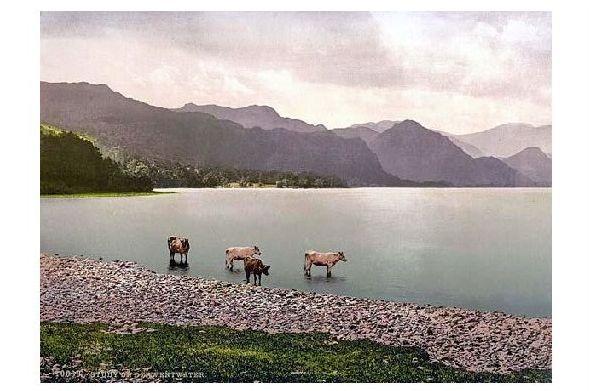 Altes Photochrome-Farbfoto Rinder im Uferbereich des Derwent Water (Neudruck als Postkarte)