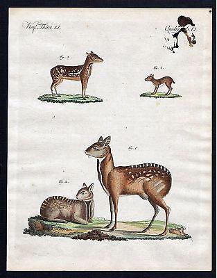 1800 - Moschushirsch musk deer Kupferstich Bertuch