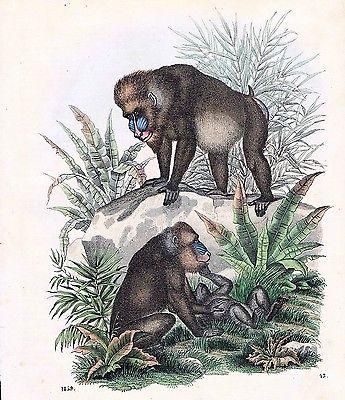 1859 - Pavian Affe Affen monkey Tiere animals animal Original Lithographie Litho