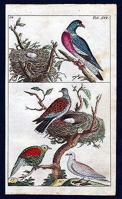 1800 Taube Ringeltaube wood pigeon bird Vogel Vögel birds Kupferstich engraving