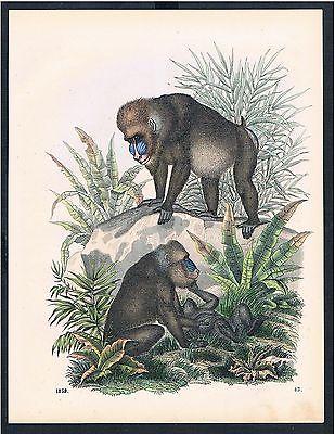 1859 - Affe Affen Pavian Paviane monkey monkeys animal Original Druck print