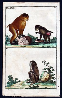 1800 Paviane baboon Affe Affen ape monkey Kupferstich engraving antique print