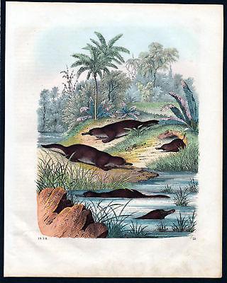 1858 Schnabeltier platypus Kloakentiere Lithographie lithograph