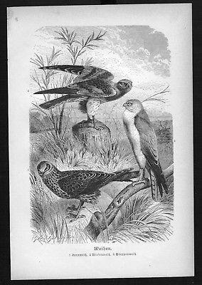 1890 - Weihe Habicht Greifvogel Vogel Vögel bird birds Holzstich woodcut