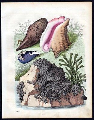 1856 - Conchylien Muscheln Algen mussel Lithographie lithograph