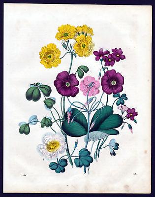 1858 Sauerklee oxalis sorrels Botanik botany Lithographie lithograph