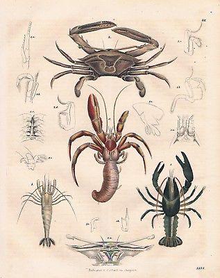 1844 - Krabben Krebse Krabbe Krebs crab crayfish Lithographie lithograph